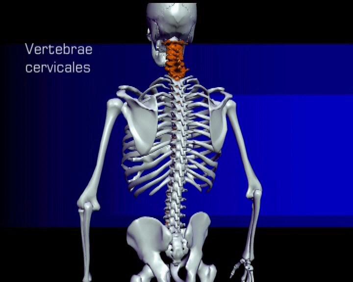 Die Wirbelsäule besteht aus den Großstrukturen Halswirbel ...