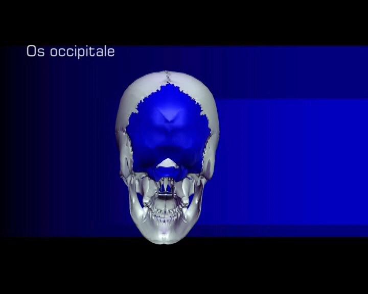 os occipitale