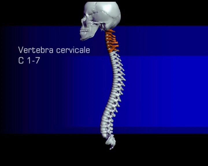 Die Abschnitte der Wirbelsäule, Halswirbel-. Brustwirbel ...