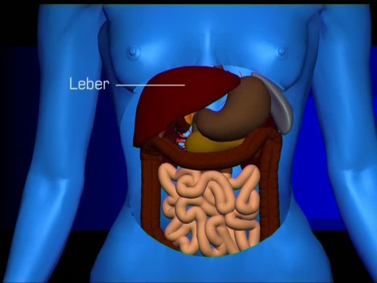 Die anatomischen Strukturen der Leber.