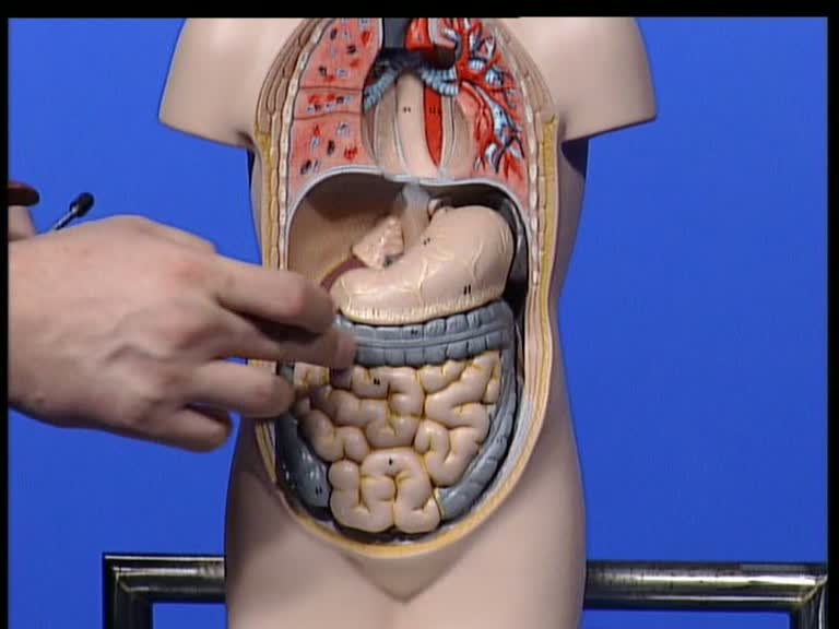 Der Magen liegt in der Bauchhöhle, mit dem Magenkörper über dem ...