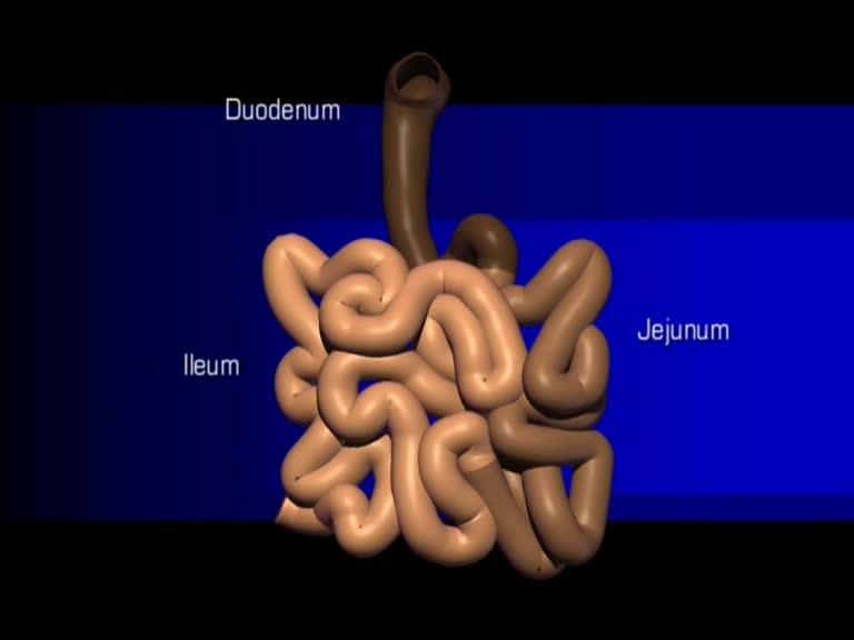 Duenndarm Duodenum Jejunum Ileum