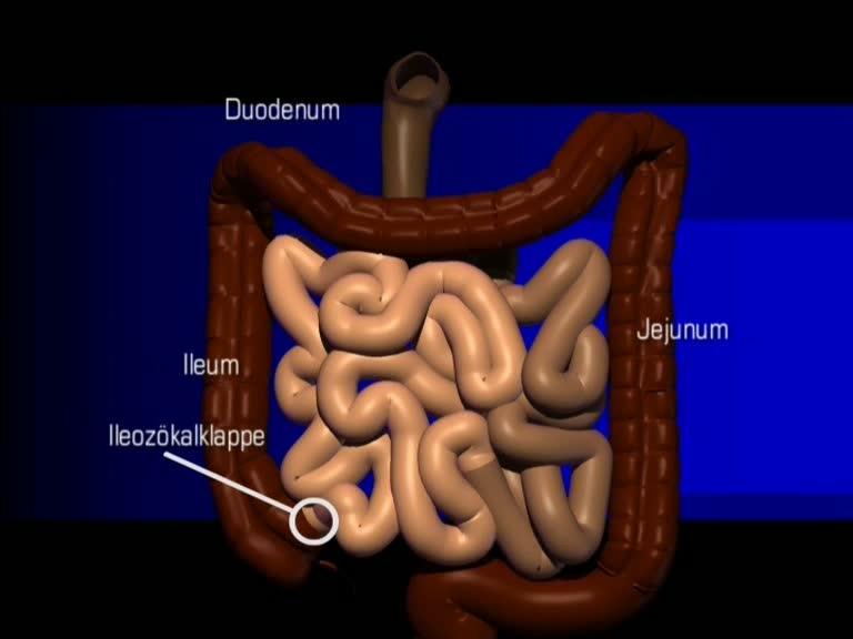Duenndarm Anatomie zirkulaere Falten