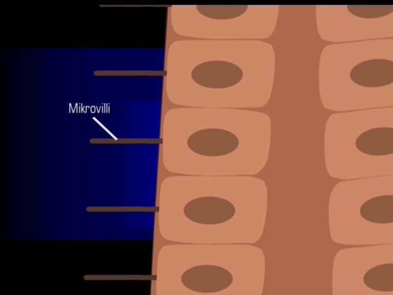 Duenndarm Anatomie Mikrovilli