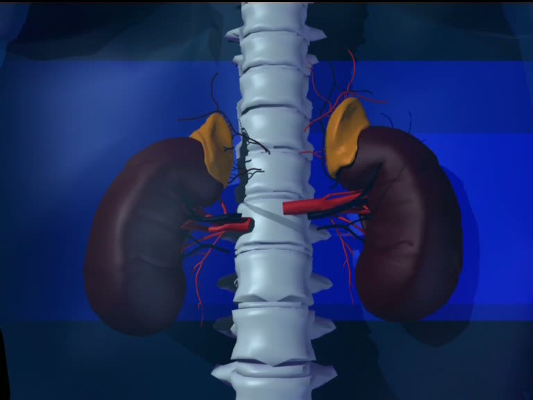 Der Nierenhilus befindet sich in der Höhe des ersten Lendenwirbels.
