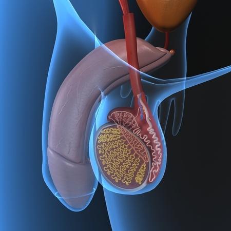 Die Hoden sind die Orte, in denen die Keimzellen, die Samenzellen ...