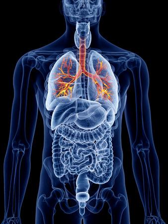 Am Lungenhilus treten die Stammbronchien in die Lunge ein, rechts ...