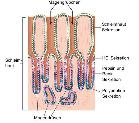 Der Magen produziert drei verschiedene Substanzgruppen, Magensäure ...